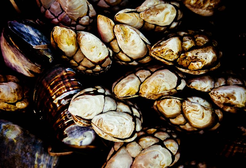 Claw shaped clams