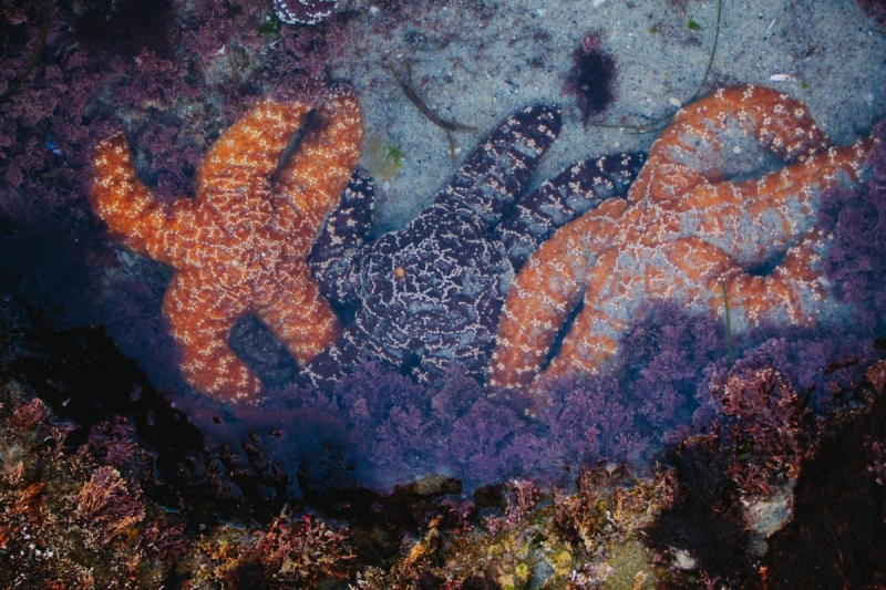 Tidepool Sea Star