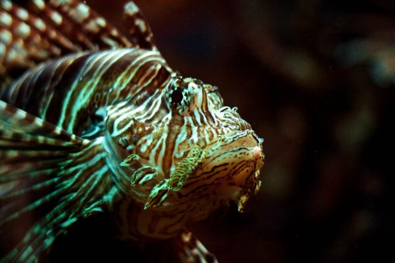 Birch Aquarium Lionfish