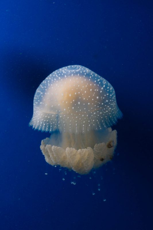 Australian Spotted Jellyfish