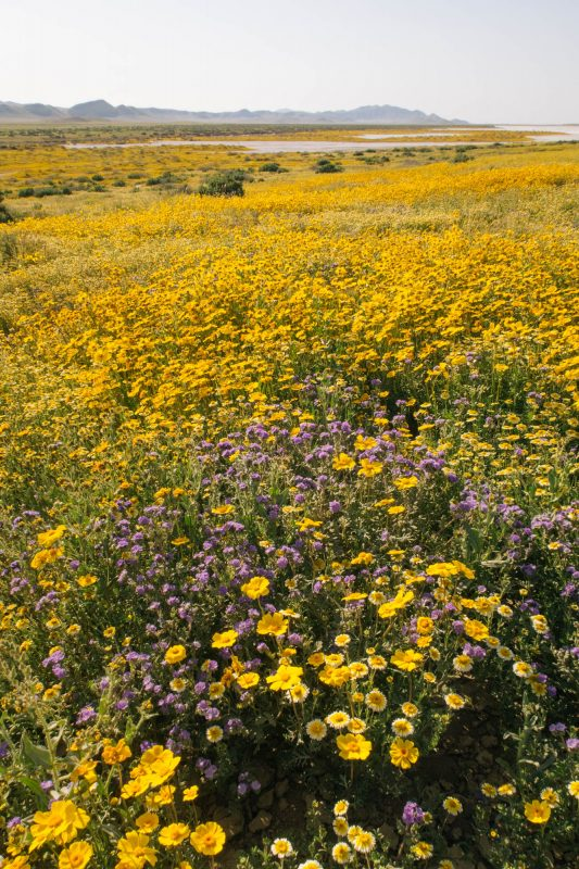 Carrizzo Plain wildflower superbloom