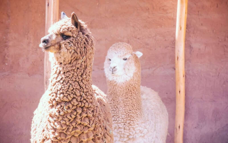 Mundo Alpaca Photography