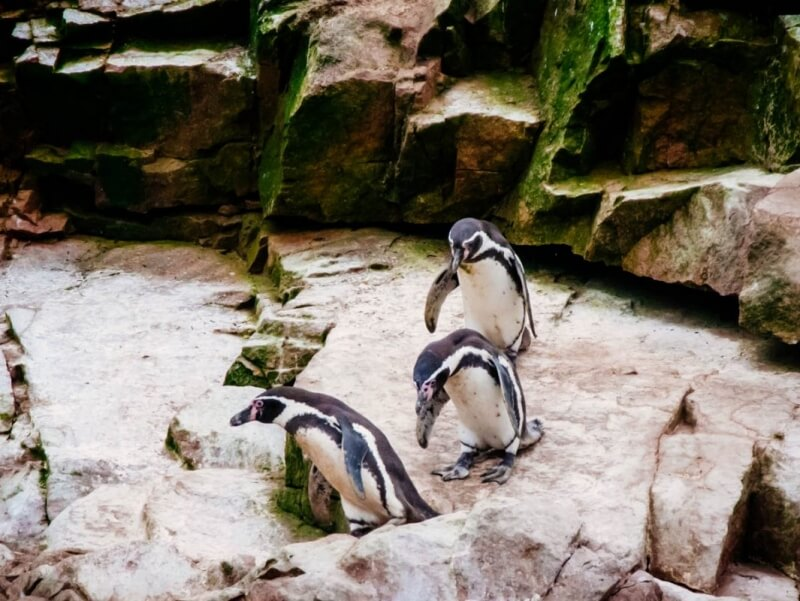 Humboldt Penguins at Ballestas Islands
