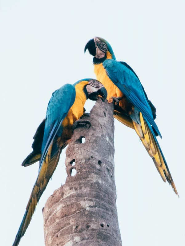 Blue gold Macaw in Tambopata Reserve