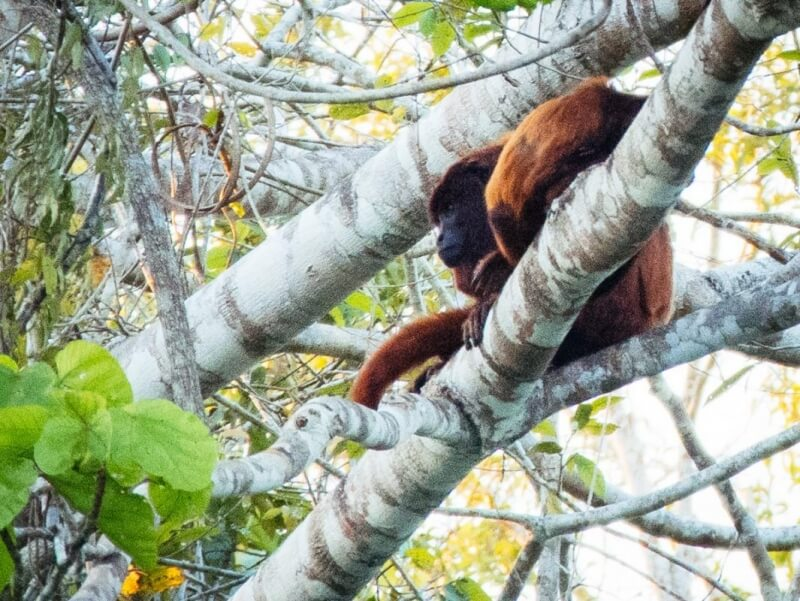 Red Howler Monkey in Amazon Rainforest