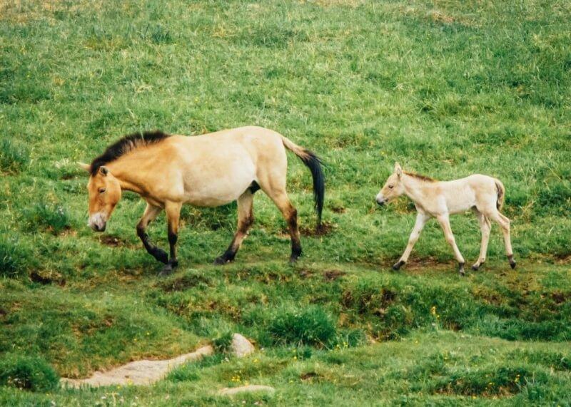 Hustai National Park Takhi