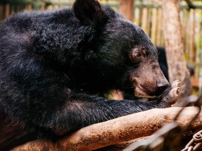 Kuang Si Bear Rescue Photos