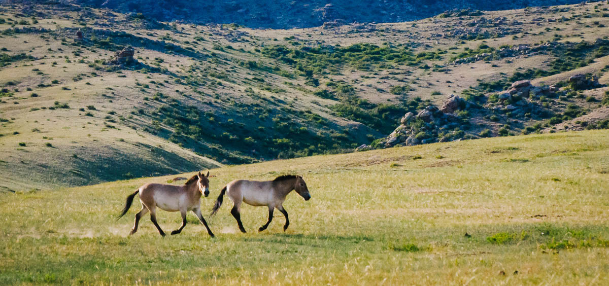 Wild Horses at Mongolia's Hustai National Park | Sidecar Photo