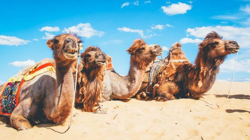 Camels in Elsen Tasarkhai