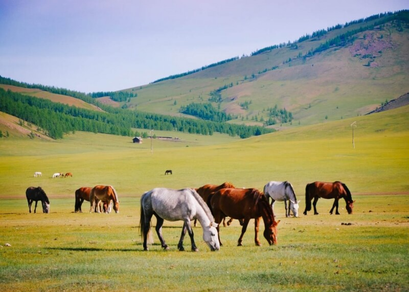 Horses against Hills in Mongolia