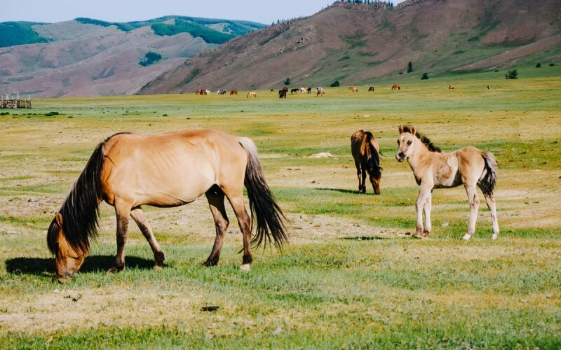 Mongol Horses and Foal in Gorkhi-Terelj National Park