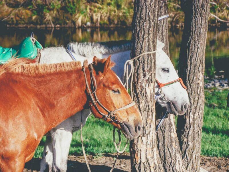 Mongol Horses in Terelj