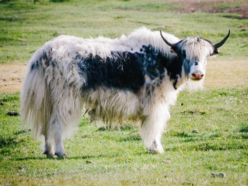 Mongolia Yak